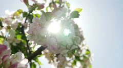 Apple blossom against sun, tracking shot with flare Stock Footage