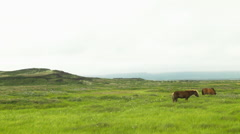 Icelandic Horses Grazing in a Field Stock Footage