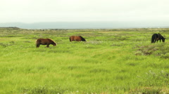 Icelandic Horses Grazing in a Field- ICELAND Stock Footage