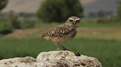 Burrowing Owl Hops Up to Perch in Wilderness Stock Footage