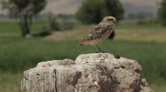Burrowing Owl Perched in Wilderness, medium shot - stock footage