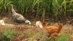 Colorful Turkey and Her Babies , Chicken and Fowl, walking together on Farm Stock Footage