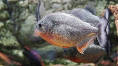 Piranha (serrasalmus nattereri) Stock Footage