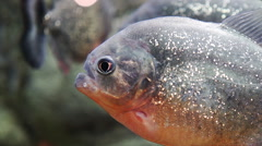 Close up of Piranha (serrasalmus nattereri) Stock Footage