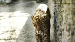 Leopard walking in the zoo cage Stock Footage