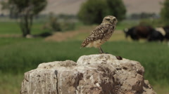 Burrowing Owl Perched Stock Footage