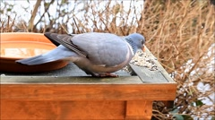 Dove feeding in winter Stock Footage