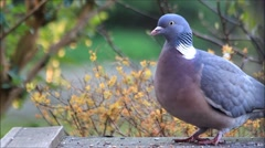 Portrait pigeon closeup Stock Footage