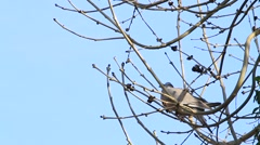 Dove sitting on branch in tree, april, Wood pigeon Stock Footage
