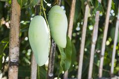 Hanging mango out of bamboo fence Stock Photos