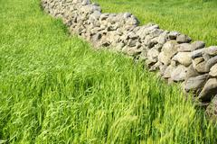 Close-up of green barley field with basaltic stonewall Stock Photos