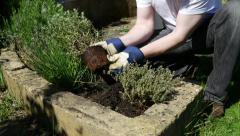 Gardener planting oregano herb plant, 4k, UHD - stock footage