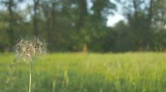Blowball dandelion slowmotion blow 1 Stock Footage
