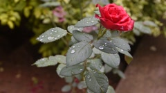 Fresh Dew Drops on the rose - stock footage