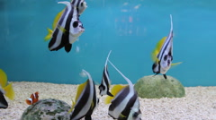 Many Schooling Bannerfish (Heniochus diphreutes) - stock footage