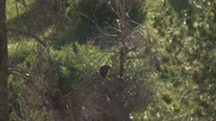 Porcupine in tree 2 Stock Footage