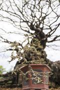 bonsai or miniature tree - stock photo