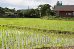 the rice field - stock photo