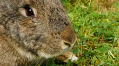 Fluffy brown rabbit sniffing, close up Stock Footage