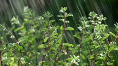 Rain falling on oregano plant in garden, lit by sun from behind - stock footage