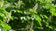 Flowers Of Chestnut Stock Footage