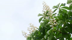 Flowers Of Chestnut Through The Sky - stock footage