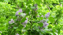 Stock Video Footage of Lilac Flowers In The Thickets Of Greenery