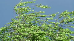 Wind Bends A Tree Branch Stock Footage