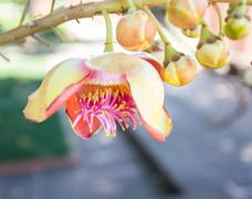 Flower of Cannonball Tree Stock Photos