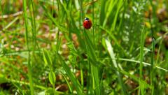 Ladybird on blade of grass - stock footage