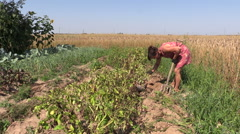 Girl dig potato harvest near barley field agriculture work Stock Footage