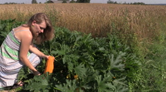 Pregnant farmer woman harvest ripe courgette zucchini vegetable Stock Footage