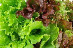 Oakleaf lettuce, corrugated lettuce on entire background - stock photo