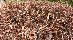 Ants run in an anthill Stock Footage
