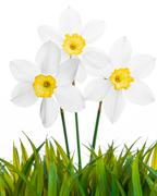 Spring floral border, beautiful fresh narcissus flowers - stock photo