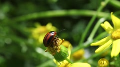 Beetle Macro Stock Footage