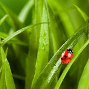 Ladybug running along on blade of  green grass Stock Photos
