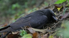 Dead Raven in forest Stock Footage