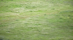 Wind waving on the meadow of green grass Stock Footage