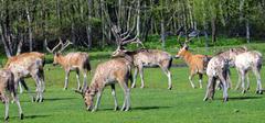 Pere David's deer Stock Photos