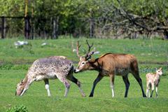 Pere David's deer - stock photo