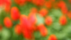 Bed of tulips shot in blur background Stock Footage