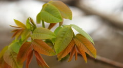 Young leaves on the branch hazel swaying in the wind Stock Footage