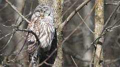 A sleepy Barred Owl, Strix varia Stock Footage