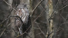 A resting Barred Owl, Strix varia Stock Footage