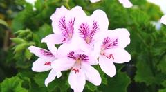 Geranium flowers, Pelargonium, spring time (4K) Stock Footage