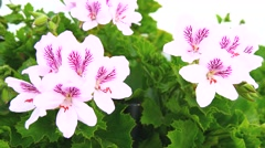 Geranium flowers, Pelargonium, spring time (4K) Stock Footage
