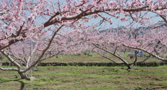 Peach tree, 4k  non color graded (4000x2160) Stock Footage