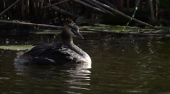 Great Crested Grebe  are swimming in a pond Stock Footage