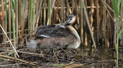 Great Crested Grebe on the nest with chick Stock Footage